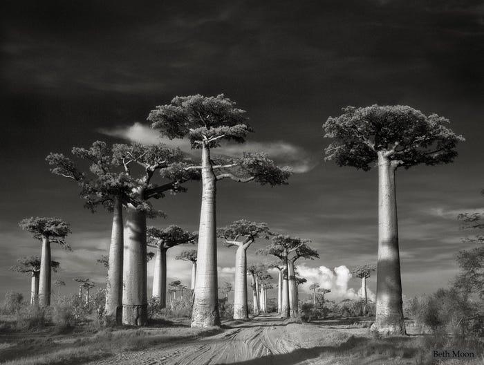 Самые древние и величественные деревья планеты на фото