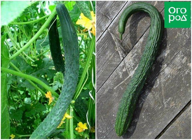 китайский огурец змей
