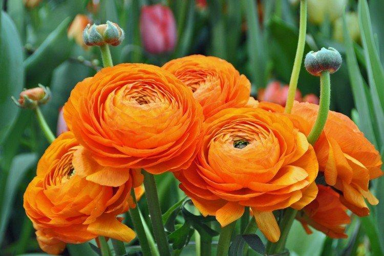 Цветы лютики: виды, посадка и уход