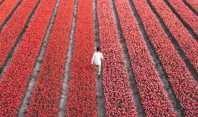 В Нидерландах расцвели 7 миллионов тюльпанов: необыкновенные кадры