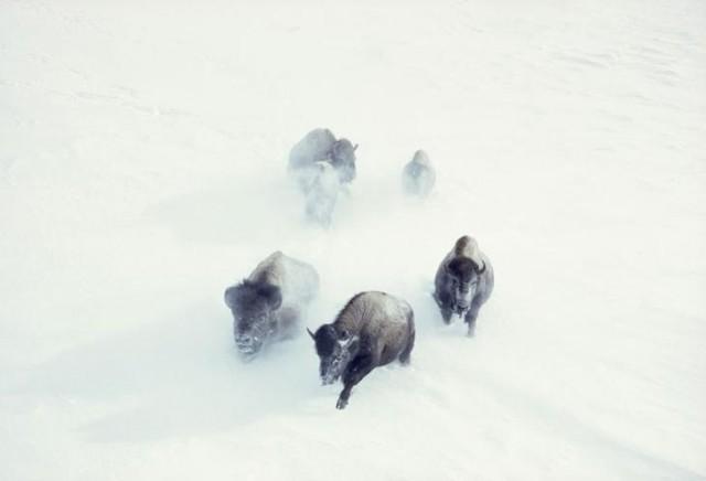Американские бизоны пробираются через снежные сугробы в Йеллоустонском национальном парке, ноябрь 1967 national geographic, неопубликованное, фото