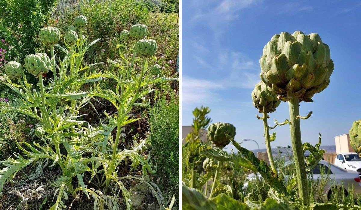 Сделано в Италии: что выращивают средиземноморские фермеры дача,сад и огород,садоводство