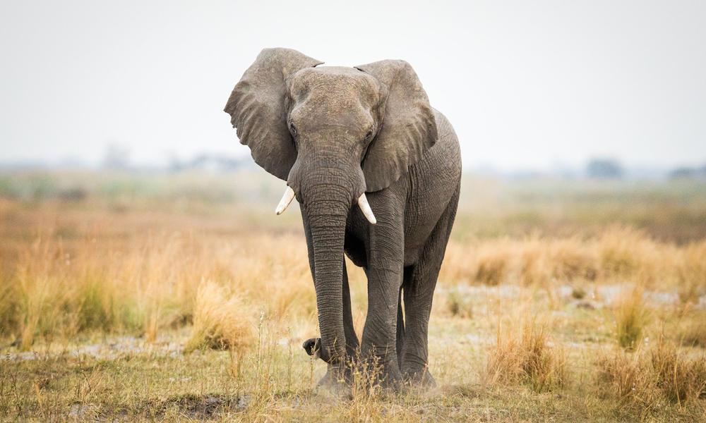 Какой вес у африканского слона, сколько весит при рождении слонёнок