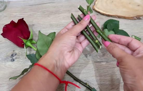 Не выбрасывайте букеты, или Как посадить розу, если она дала росток