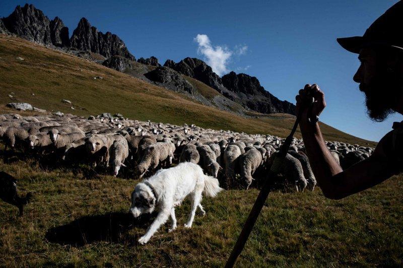 Пруденс – одна из собак Меме. Она родилась на овечьей ферме и, видимо, считает себя частью стада Альпы, жизнь, пастух, работа