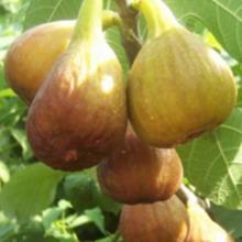 Инжир выращивание в домашних условиях как ухаживать как посадить