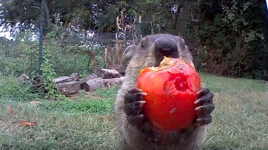 Американец установил камеру в огороде и узнал, что его овощи ворует пухлый сурок. Посмотрите, как аппетитно грызун жует огурцы и помидоры домашний очаг,происшествия,сурок,юмор и курьезы