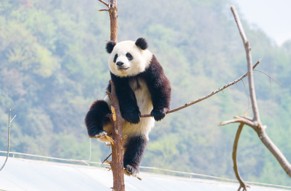 Сотрудника Московского зоопарка в Китае научат правильно обнимать панд