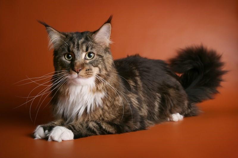 кошка породы мейн кун фото цена