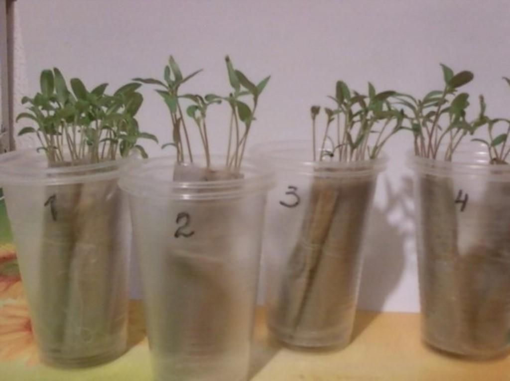Выращиваем рассаду без земли…