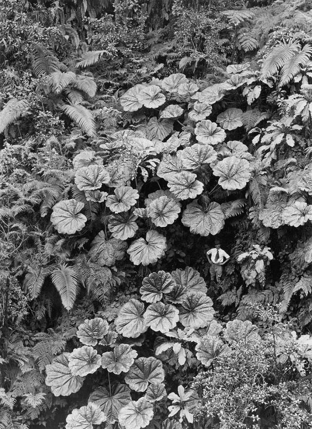 Мужчина теряется на фоне огромных растений на Мауи, Гавайи, 1924 national geographic, неопубликованное, фото