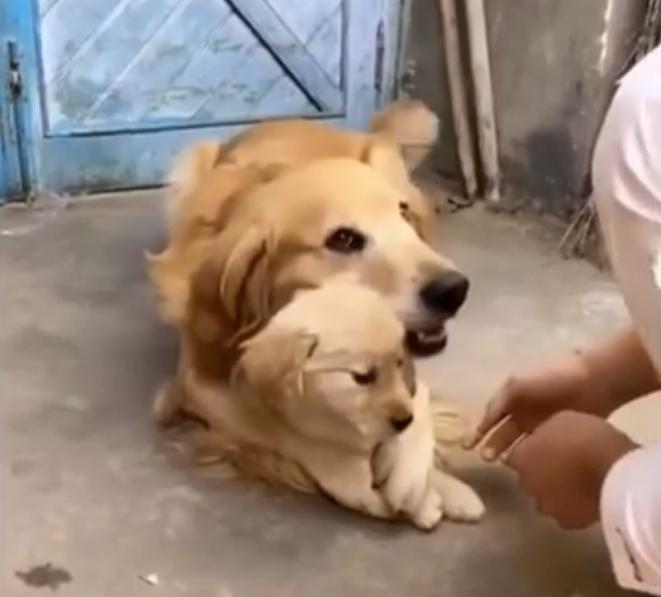 Эта собака так любит своего щенка, что не разрешает прикасаться к нему даже хозяину