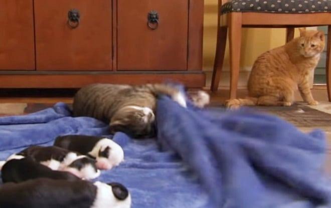 Кот лежит возле щенков