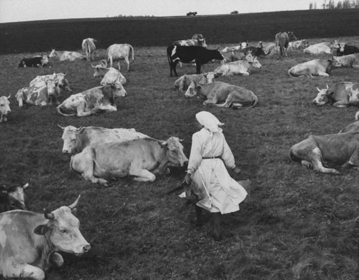 прелестные фото коров во время покажу