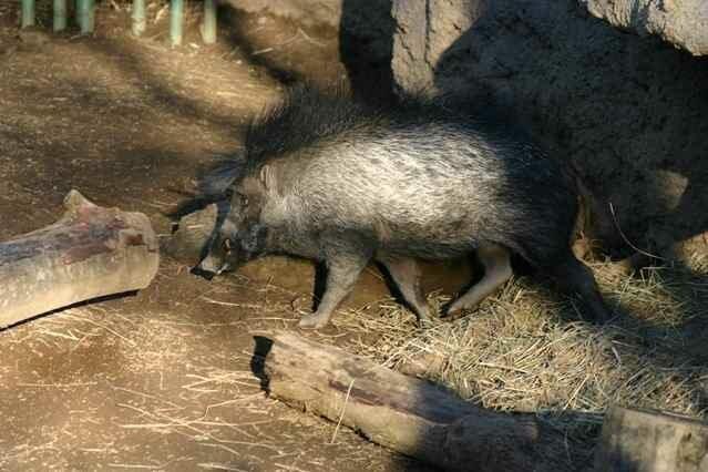 Редкие вымирающие животные: Висайская бородавчатая свинья (Sus cebifrons) дикая природа, животные, красная книга, редкие животные
