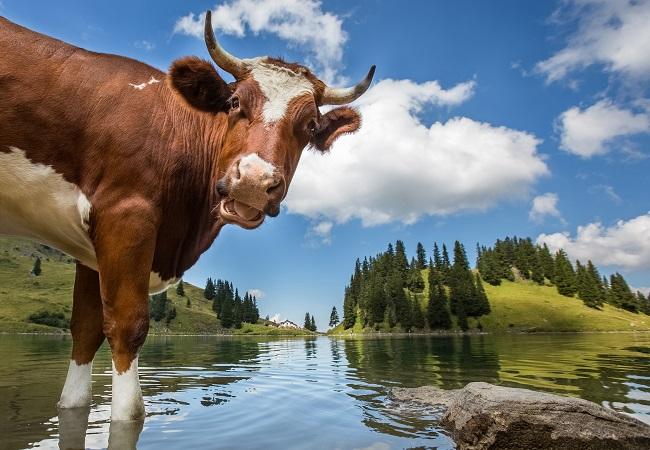 Как ловить карасей на коровий рог