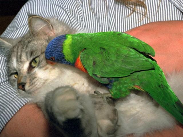 Наглый попугай и кот пофигист