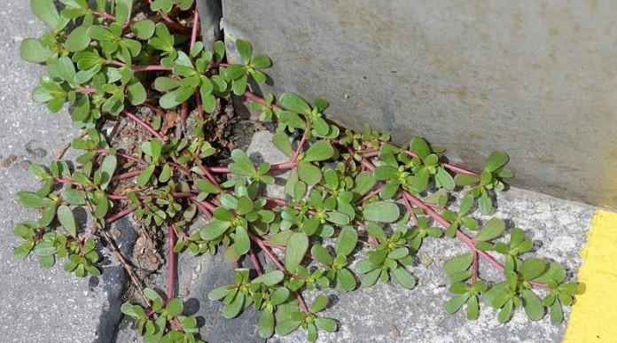 Если вы увидите это растение в вашем дворе, ни в коем случае не уничтожайте его! Вот почему!