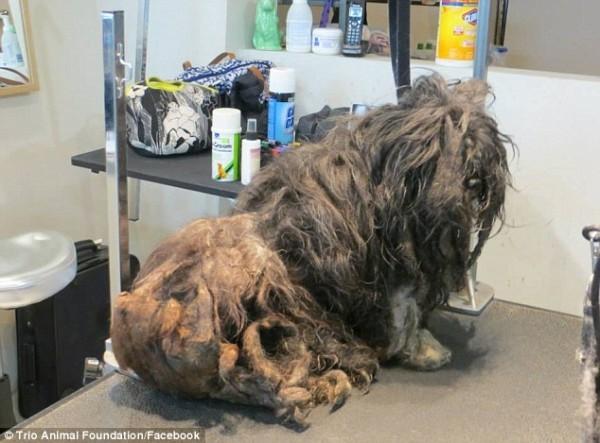 Бездомную собаку постригли впервые за всю ее жизнь. И она изменилась до неузнаваемости!