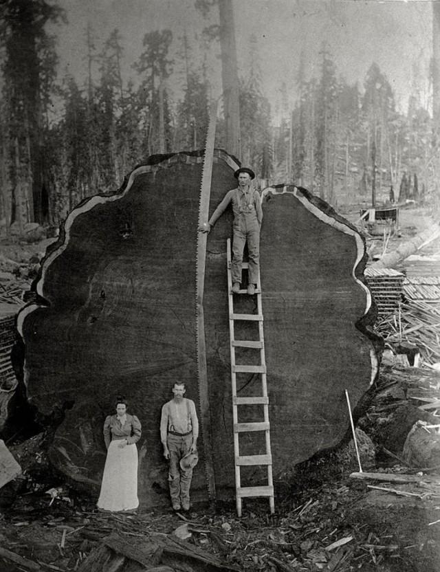 Лесорубы и гигантское поваленное дерево в Калифорнии, 1892 national geographic, неопубликованное, фото