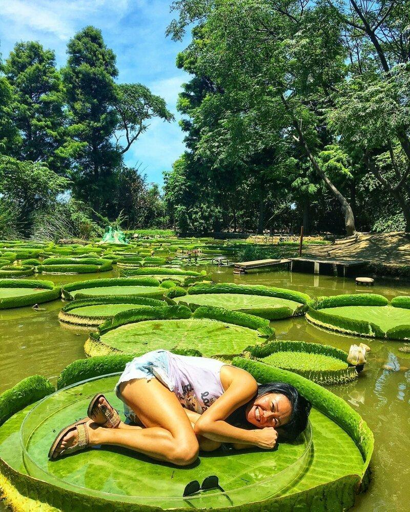 Виктория амазонская — гигантская водная лилия с самым крупным цветком в мире катаклизмы, природа, растительность