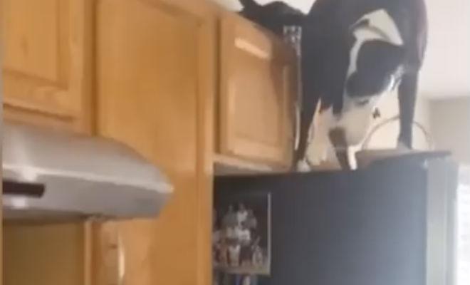 Питбуль вырос с котами и теперь считает себя котом Культура