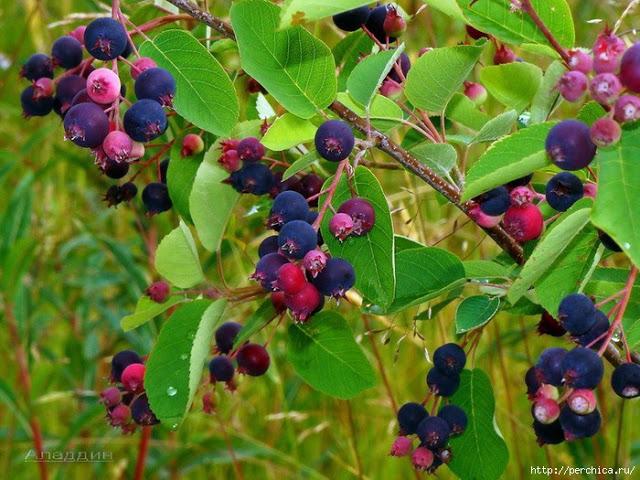 Ирга - полезный и вкусный плод. Выращивание, лечебные свойства, ирга в кулинарии - Подружки    Древесина ирги свойства