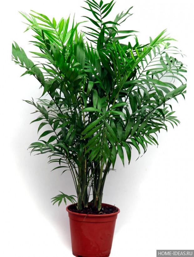 пальмовые комнатные растения фото с названиями обслуги даже дети