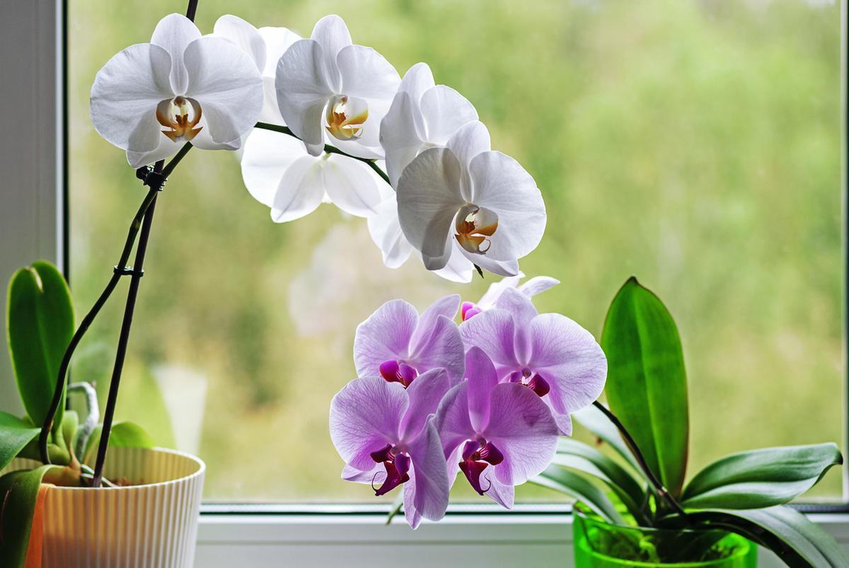 Почему не цветет орхидея: 6 очевидных и неожиданных причин