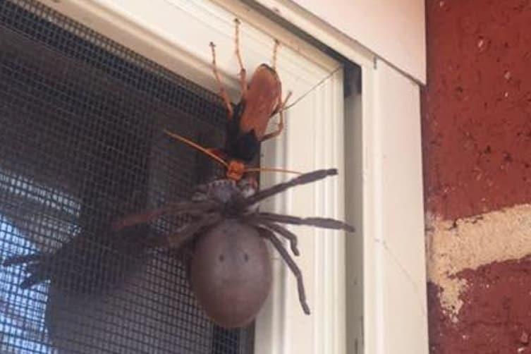 11. Дорожные осы парализуют пауков и откладывают в них яйца: личинки осы проклевываются и начинают пожирать все еще живого паука изнутри, выживая таким образом животные, природа, ужас