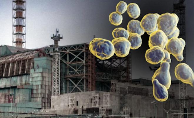 Ученые нашли в Чернобыле гриб, который питается радиацией Культура