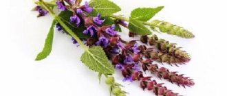 Трава шалфей лекарственный. Лечебные свойства и противопоказания