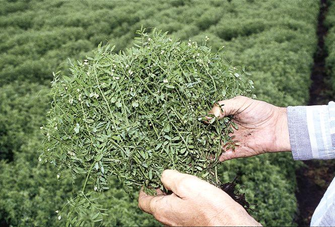 Выращивание на даче древнейшей культуры - чечевицы дача,огород,чечевица