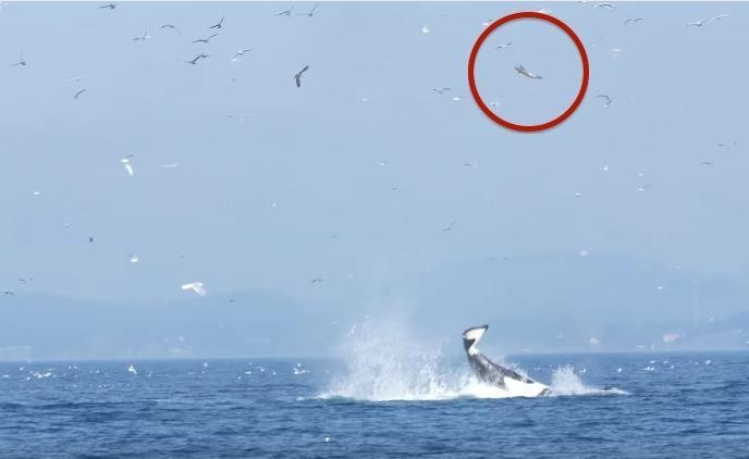 9. Это тюлень, подброшенный косаткой животные, природа, ужас
