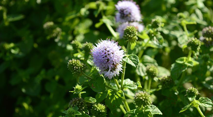 Садовая мята: виды мят, особенности выращивания, секреты дачников дача,сад и огород,садоводство