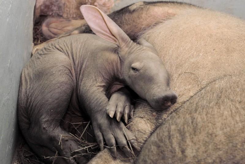 В Екатеринбургском зоопарке родился земляной поросенок!