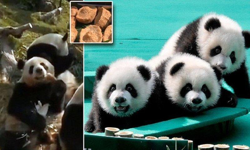 Панды-тройняшки встретили китайский новый год