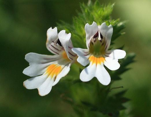 Лечебные свойства растения очанка.