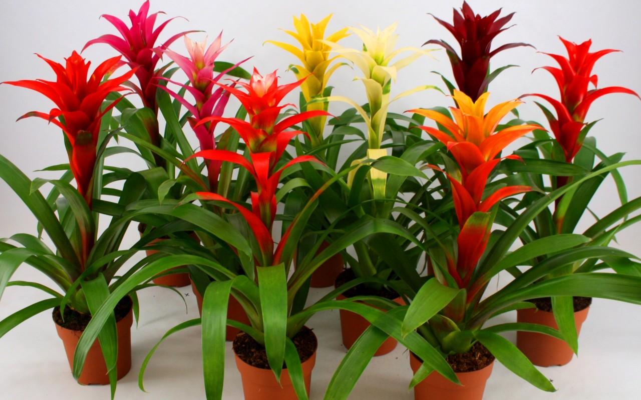 Комнатный цветок с красными цветкам