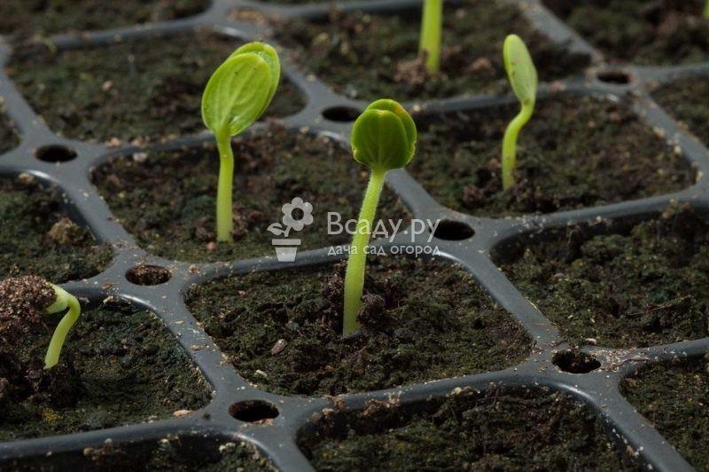 Выращиваем арбуз Сахарный малыш рассадным методом