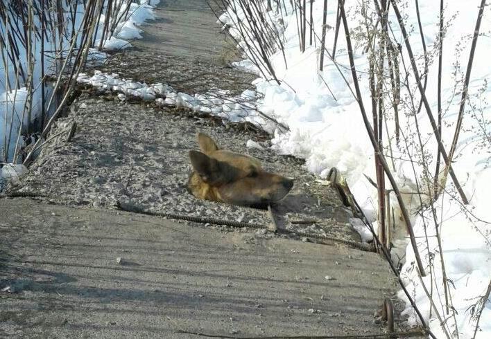 «Из бетона торчала голова!» В Марий Эл бездомная собака пыталась согреться и застряла в камере теплотрассы