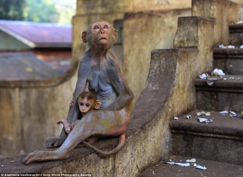 Обезьяны на стене монастыря в Мьянме искусство, конкурс, красота, фото
