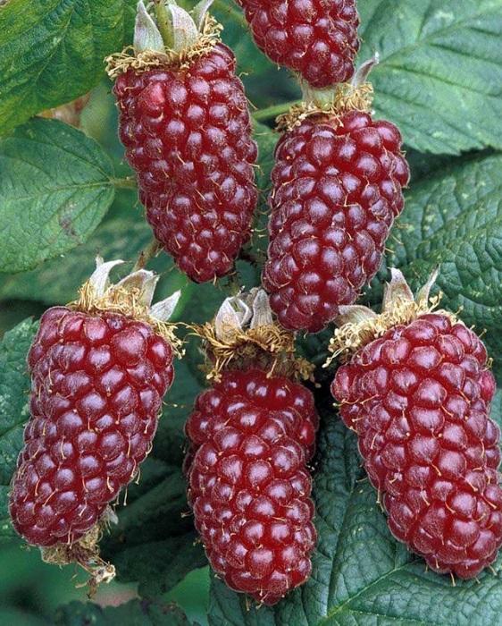 Ежемалина, ирга, актинидия: необычные растения в саду отечественных дачников дача,сад и огород,садоводство