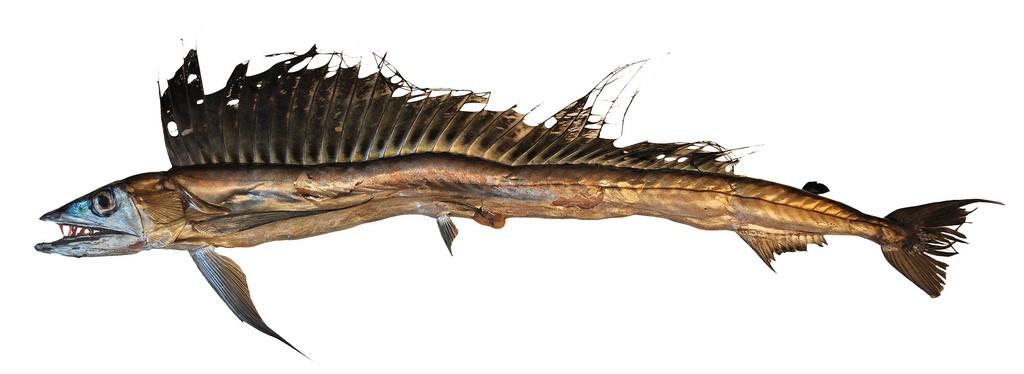 рыба пилозуб картинки совсем боится
