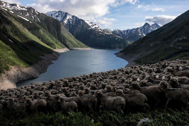 Овцы пасутся на склоне с видом на озеро. Альпы, жизнь, пастух, работа