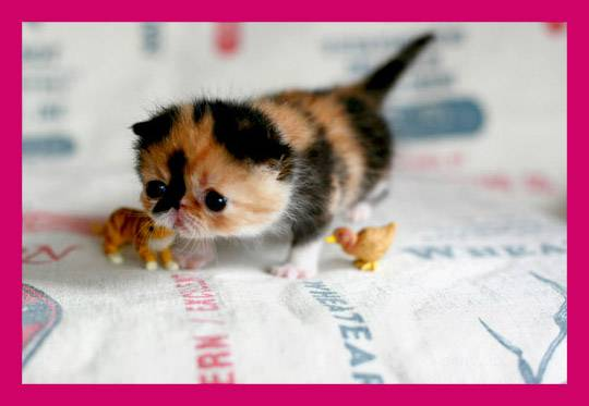 Memebon — самый кавайный кот…