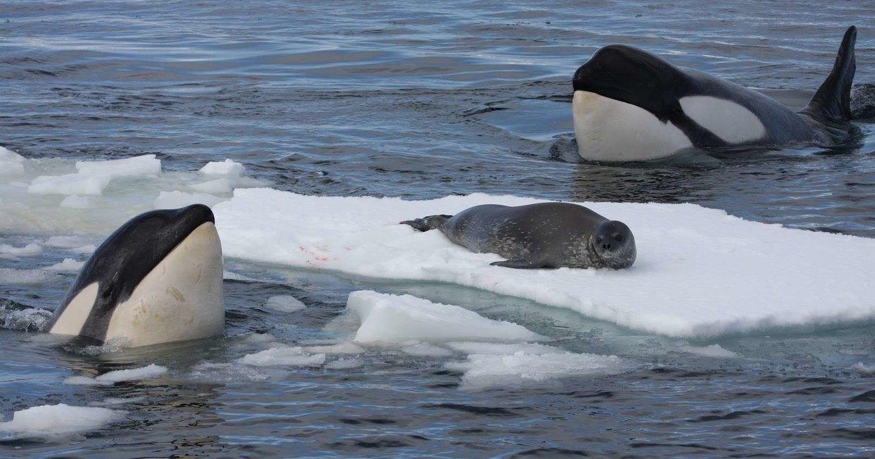 Как косатки смывают тюленей со льда дикая природа
