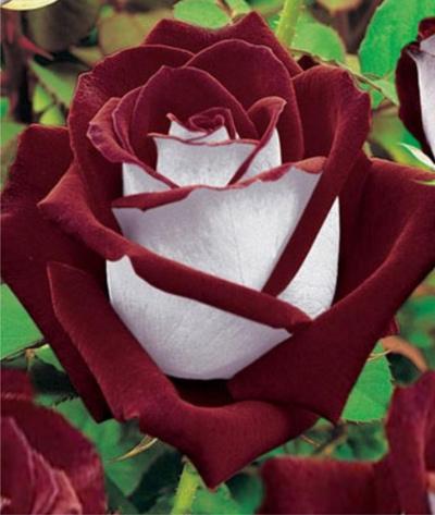 Черная плетистая роза фото