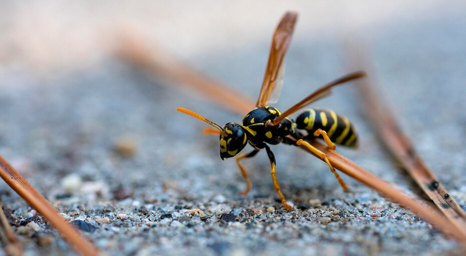 Пчела, оса, шмель или шершень: чей укус больнее и опаснее? здоровье,укусы насекомых