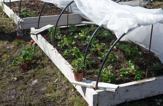Особенности ремонтантной земляника: ягоды до сентября